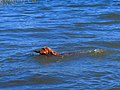Swimming dog (11164576454).jpg
