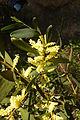 Sydney Golden Wattle Vau Portugal 19.02.16 (25236087446).jpg