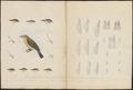 Sylvia sylvicola - 1700-1880 - Print - Iconographia Zoologica - Special Collections University of Amsterdam - UBA01 IZ16200193.tif