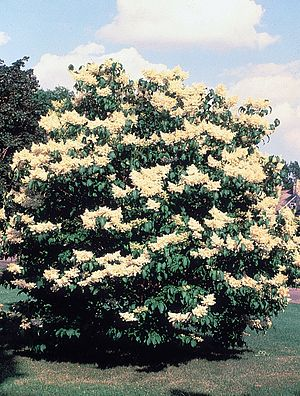 Syringa reticulata - Image: Syringa reticulata USDA