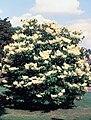 Syringa reticulata USDA.jpg