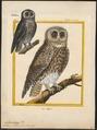 Syrnium aluco - 1700-1880 - Print - Iconographia Zoologica - Special Collections University of Amsterdam - UBA01 IZ18400149.tif
