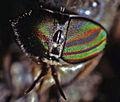 Tabanidae - Hybomitra aterrima.jpg