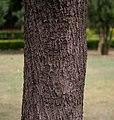 Tabebuia impetiginosa (Pink Trumpet tree) in Hyderabad, AP W IMG 2608.jpg