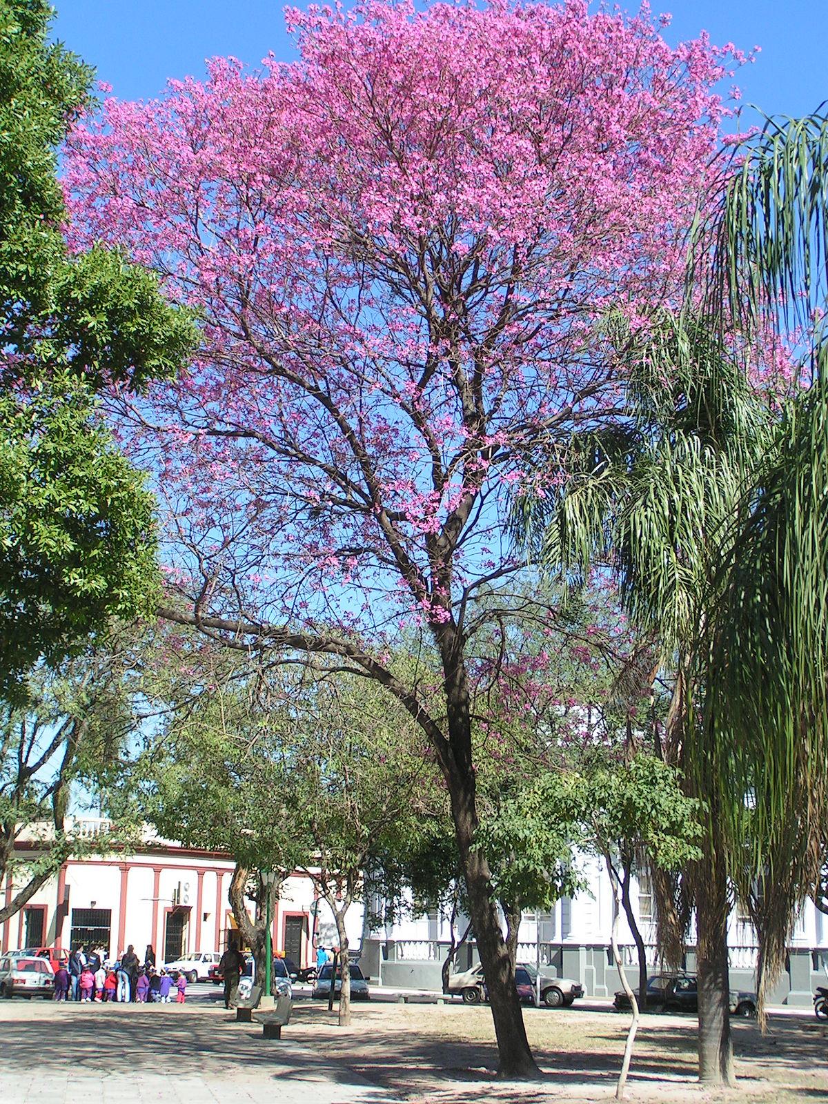 Lapacho arbre wikip dia for Arboles para plantar en verano