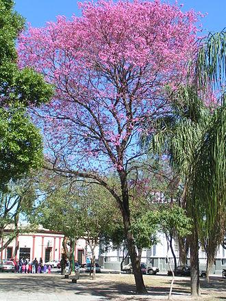 Handroanthus impetiginosus - Flowering in Corrientes, Argentina