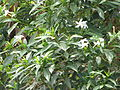 Tabernaemontana pandacaqui (9215887763).jpg