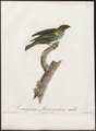 Tangara gyrola - 1805 - Print - Iconographia Zoologica - Special Collections University of Amsterdam - UBA01 IZ15900321.tif