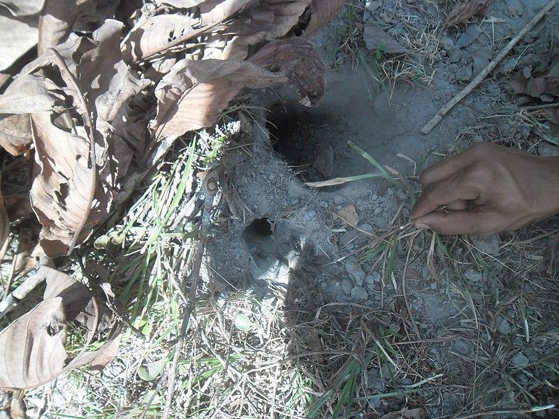 File:Tarantula u provinciji Ratanakiri.jpg