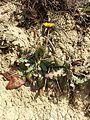 Taraxacum serotinum sl74.jpg