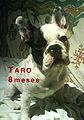 Taro le bouledogue.jpg