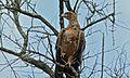 Tawny Eagle (Aquila rapax) (6005239367).jpg
