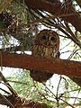 Tawny Owl (4746698631).jpg