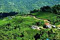 Tea Garden at kanyam ilam.jpg