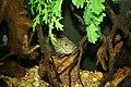 Texas Cichlid (Herichthys cyanoguttatus) (3152826740).jpg