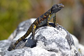 The Black - girdled lizard on Table Mountain Cape Town 065.jpg