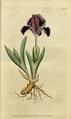 The Botanical Magazine, Plate 9 (Volume 1, 1787).png