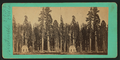 The Sentinels, California, 315 ft. high, 23 ft. diameter, from Robert N. Dennis collection of stereoscopic views.png