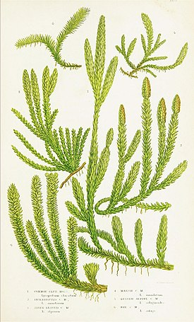 The ferns of Great Britain, and their allies the club-mosses, pepperworts, and horsetails (Pl. 36) (8516527488).jpg