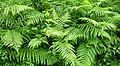 The green fronds of summer - geograph.org.uk - 877991.jpg