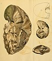 The mineral conchology of Great Britain (Pl. 628) (7976699967).jpg