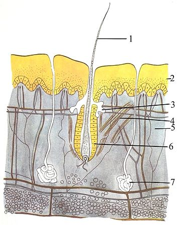 Mammal skin: 1 -- hair, 2 -- epidermis, 3 -- sebaceous gland, 4 -- Arrector pili muscle, 5 -- dermis, 6 -- hair follicle, 7 -- sweat gland, 8 (not labeled, the bottom layer)  -- hypodermis, showing round adipocytes The skin of mammals.jpg