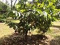 Theobroma cacao Arbre.jpg