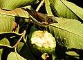 Thick-billed Flowerpecker Dicaeum agile by Raju Kasambe 03.jpg