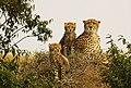 Three Cheetahs (124250125).jpeg