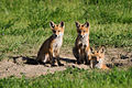 Three Red Foxes.jpg