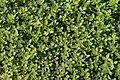 Thymus alpestris f. aurea in Botanical garden, Minsk 02.JPG