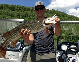 Tiger muskellunge - Tiger muskellunge caught at Tioga-Hammond/Cowanesque lakes in Pennsylvania in the United States in June 2013