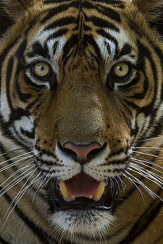Bengal tiger - Facial close up of Sultan (T-72), a male Bengal tiger in Ranthambhore National Park, Rajasthan, India