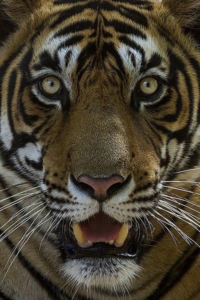 File:Tiger facial marking Sultan (T72) Ranthambhore India 12.10.2014.jpg