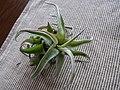 Tillandsia streptophylla (6140977688).jpg