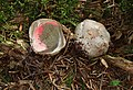 Tintenfischpilz Clathrus archeri egg.jpg