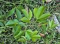 Toddalia asiatica 15.JPG