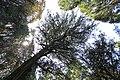 Torreya nucifera Torinoko-sanshou-jinja 3.jpg