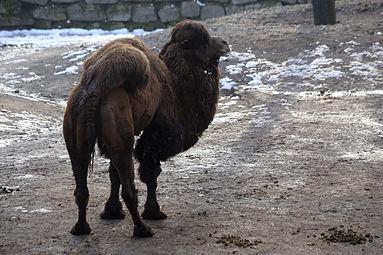 Trampeltier (Camelus ferus) Zoo Salzburg 2014 c.jpg