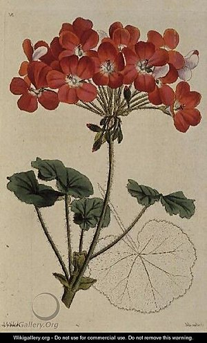 Leopold Trattinnick - A painted illustration of a Pelargonium from Trattinnick's book 'Neu Arten von Pelargonium', c.1825-34