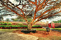 Tree at Fort Schanskop.jpg