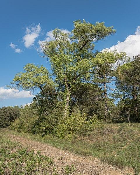 A tree in the Domaine départemental de Restinclières. Prades-le-Lez, Hérault, France.