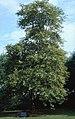 Tree of Hippocrates NIH.jpg