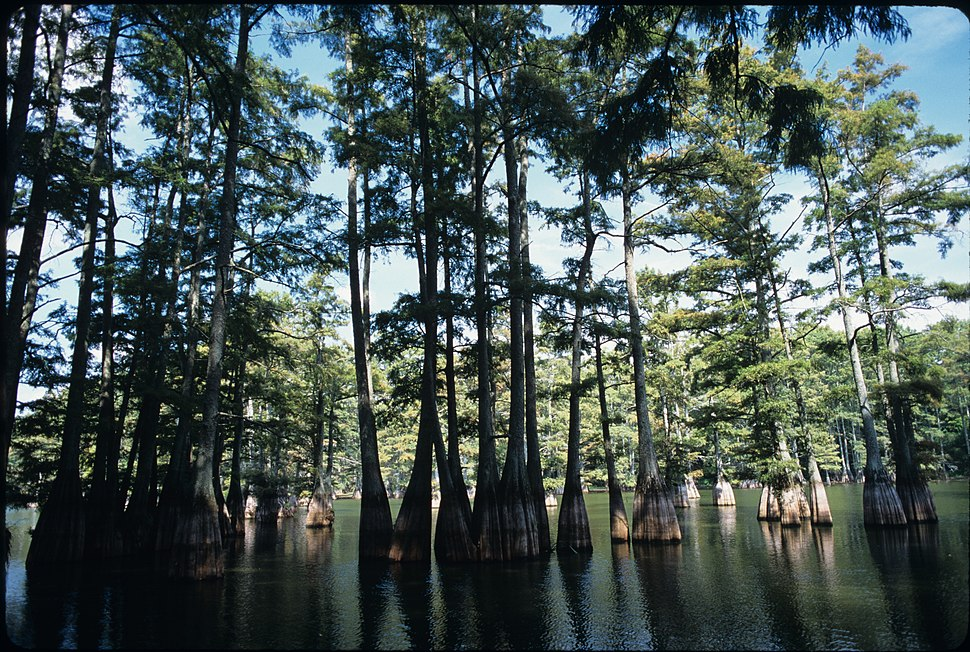 Trees at Big Thicket National Preserve (2)