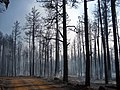 Trees burned during the Taylor Fire (3910060539).jpg