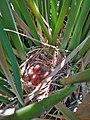 Tricolored blackbird chicks (36993905750).jpg
