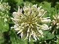 Trifolium repens flower detail.JPG