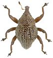Trigonopterus myops holotype - ZooKeys-280-001-g054.jpg