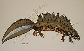 Triturus dobrogicus dunai tarajosgőte.jpg