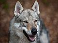 Tschechoslowakischer Wolfshund.jpg